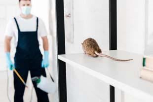 Dedetizar rato: cuidados ao realizar sem uma empresa